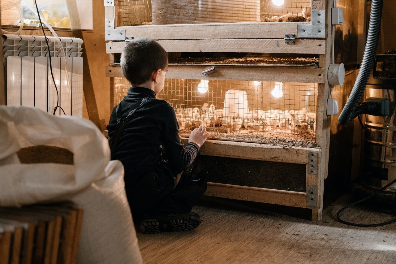 A guide to caring for backyard chickens